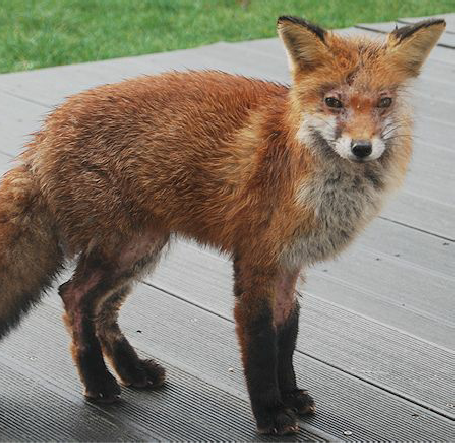 fox mange free mange treatment canine mange sarcoptic mange foxes