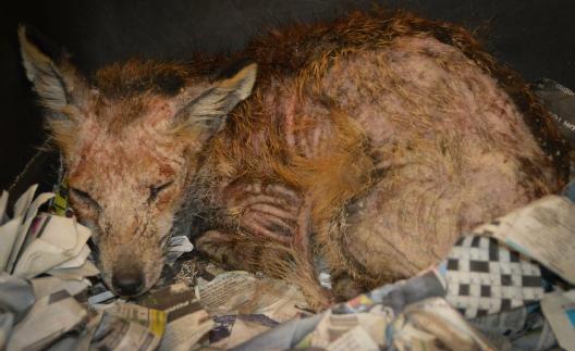Sarcoptic Mange in foxes | Free Fox Mange Treatment | Free Mange